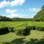 The tea fields
