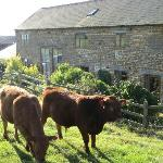 The Cows come so close to the Cottages!