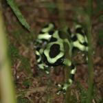 Black & Green dart frog in front of Yellow Cottage