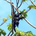 Howler monkeys above our rooms