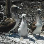 blue footed boobie famile