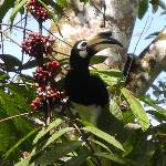 Pied Hornbill at the lodge.