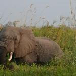Elephant at Moremi