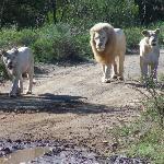 White lions preparing for the kill