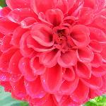 Deep rose pink