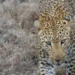 Pondoro Lodge Leopard
