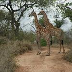 Pondoro Lodge Giraffe