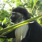 scimmia kolobo