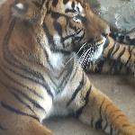 Awake tiger