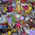 Wonderful leaf colour in Camden Maine