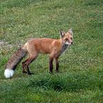 The neighborhood fox showed up daily, but please don't feed it lest it prove its demise