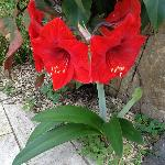 Beautyfull amaryllis in the garden