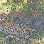 Cheetah mother with three cubs