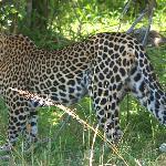 Leopard in the bush on the Mara