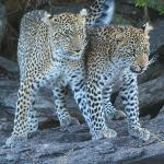 No.1 of our Big 5 day - mother leopard with cub in the conservancy