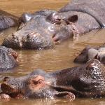 Wall to wall hippos