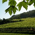 View from garden over vines