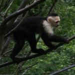 Kapuzineraffe im Zoo