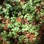 A Bed of Shamrocks for Good Luck outside our door