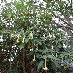 Brugmansia tree off the patio - beautiful!
