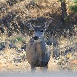 Mule Deer by the road