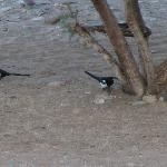 Magpies as seen from the room