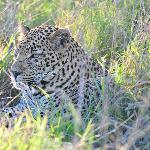 another leopard