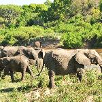 family of elephants grazing and crossing the river