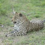 One of three beautiful leopards