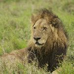Old male Lion-Selati pride?