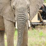 close Elephant