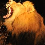 male lion yawning like they do