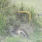 Pretty faced wallaby