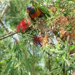 Rainbow Lorikeets feeding on bottlebrush outside B&B