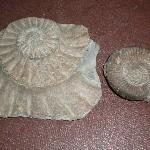 2 collected from the beach - left: the impression left in the stone and right: an ammonite