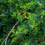 Yellow cheek parakeets as seen from our terrace