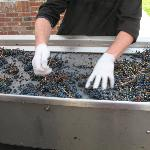 Getting the grapes ready
