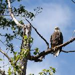 Eagle Eye---American eagle in Canada!