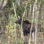 Moose Calf - Grafton Notch