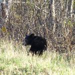 Black Bear Cub near Andover