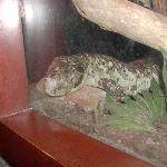 Some sort of skink(lizard)