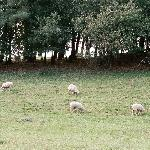 Sheep at Shelburne Farms