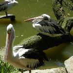 Pelican family.