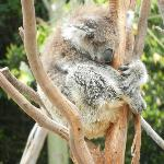 Snoozing koala.