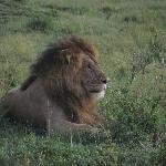 Король-Лев!