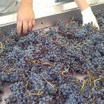 Le nostre uve!