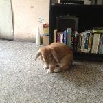 Resident rabbit, Lottie