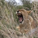 Is this Lion cub growling or yawning?