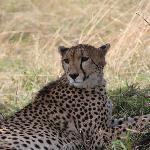 Elusive Cheetah