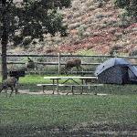 Deer by tent about 7 am